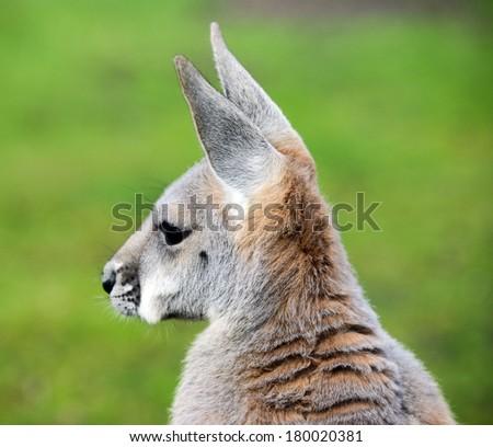 Kangaroo portrait - stock photo
