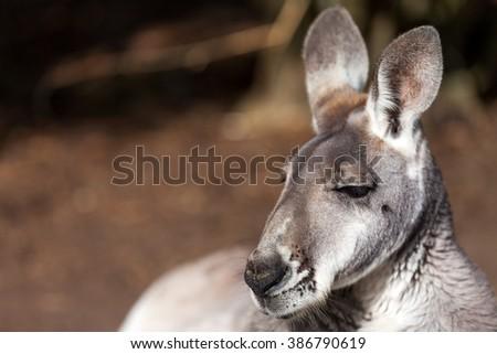 Kangaroo relaxed - stock photo