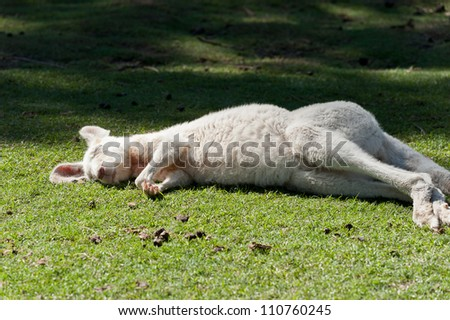 Kangaroo sleeping on green grass