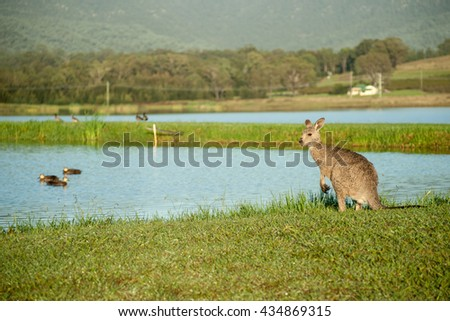 Kangaroo wet in morning dew standing by pond glancing around the Australian landscape
