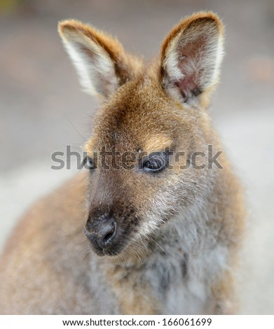 Kangaroo: Wild Wallaby Close-up Portrait, Australia  - stock photo