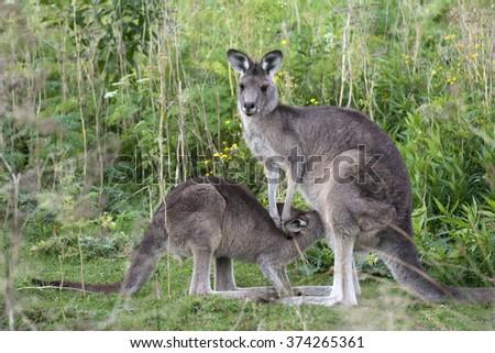 Kangaroo with a little baby joey in Australia - stock photo