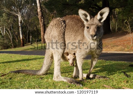 Kangaroo with cub in a pouch, Australia - stock photo