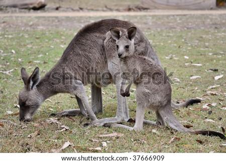 Kangaroo with joey - stock photo