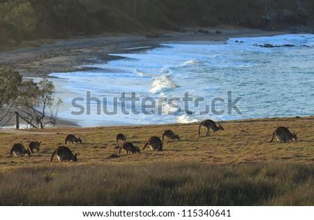 Kangaroos at Emerald Beach - stock photo
