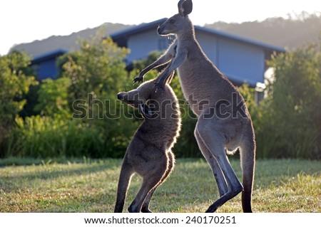 Kangaroos attack. - stock photo