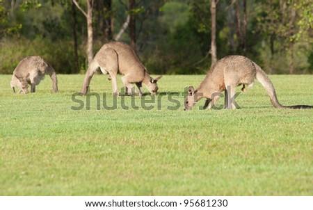 kangaroos eating grass - stock photo
