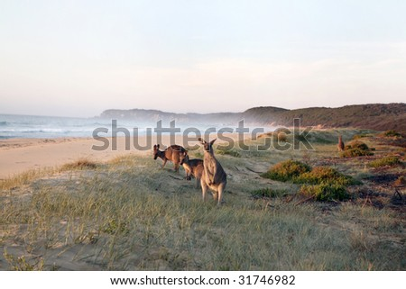Kangaroos grazing on beach - stock photo