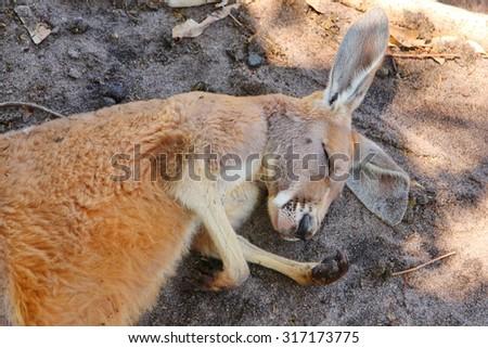 Kangaroos in Australia - stock photo