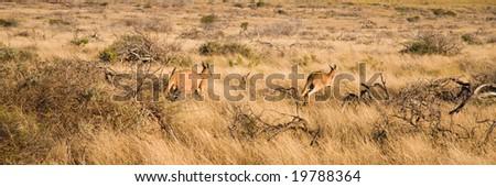 Kangaroos in Australian outback - stock photo