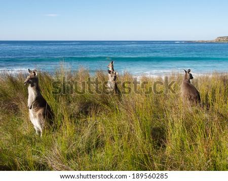 kangaroos keeping watch in batemans bay australia - stock photo