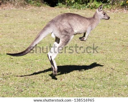 Kangaroos on open grassland at coastal new south wales australia - stock photo