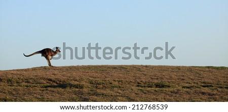 Kangaroos on the horizon, Emerald Beach - stock photo