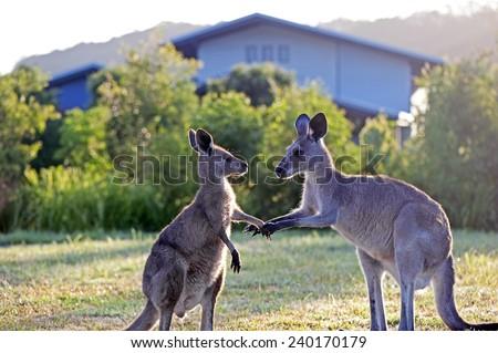 Kangaroos shake hands - stock photo