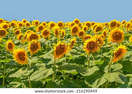 Kansas sunflower field. Shallow depth of field. - stock photo
