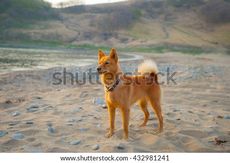 Karelian Bear Dog. Pet. Red-haired dog. Finnish Spitz. - stock photo
