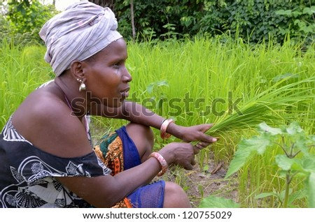 KARTIAK, SENEGAL - SEPT 17: An unidentified woman farms a rice field on September 17, 2012 in Kartiak, Senegal. Little government support is provided to the farmers so, they must farm to subsist. - stock photo