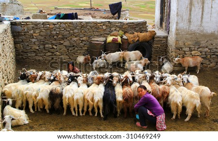 KARZOK, LADAKH, INDIA - 18 AUG 2015: Morning milking. Unidentified woman milking a herd of goats in the yard.