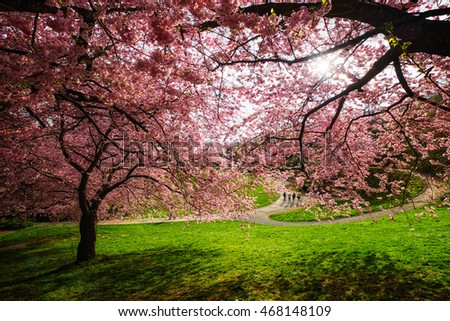Kassel, Germany - April 8, 2016 : Cherry blossom bloom in kassel garden in summer season