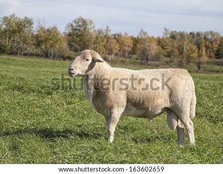 Katahdin Ram Sheep - stock photo