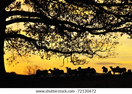 Katahdin Sheep under Oak tree at sunrise on family farm, Webster County, West Virginia, USA - stock photo