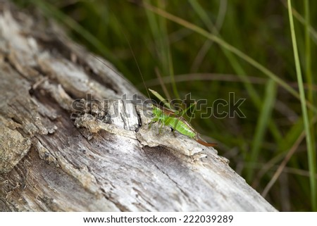 katydid - stock photo