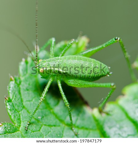 katydid insect - stock photo