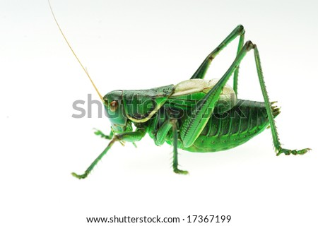 Katydid's detail in the white background - stock photo