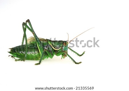 Katydid's profile in the white background