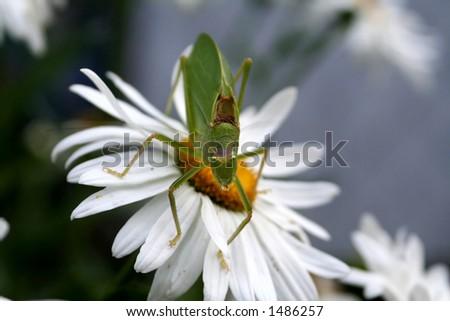 Katydid sitting on a daisy - stock photo