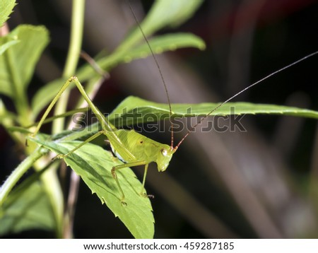 katydids or bush crickets on leaf, Tettigoniidae