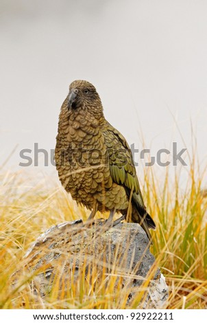 kea, alpine parrot from New Zealand - stock photo