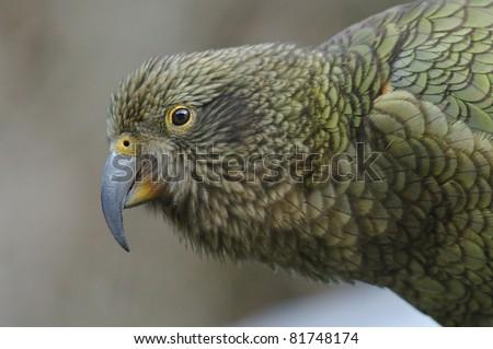 Kea Parrot (nestor notabilis) at Arthur's Pass in New Zealand - stock photo