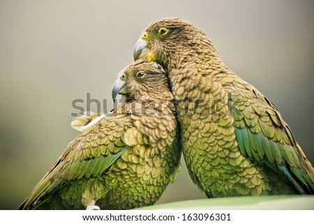 Kea's (Alpine Parrots) sitting together, Arthurs Pass National Park, New Zealand ( - stock photo