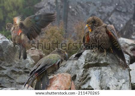 Kea Squawking - stock photo