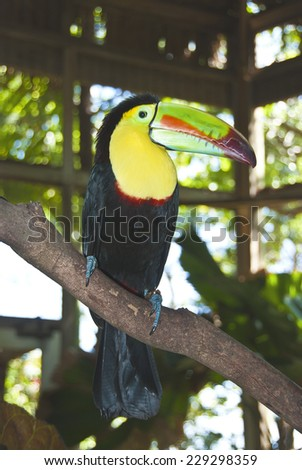 Keel Billed Toucan, from Central America - stock photo