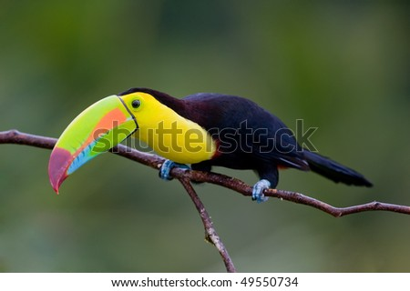 Keel Billed Toucan, from Central America. - stock photo
