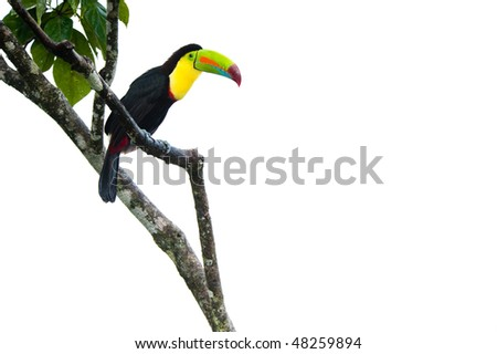 Keel Billed Toucan, from Central America. Isolated on White - stock photo