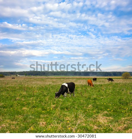 keeping a herd of cows on the meadow