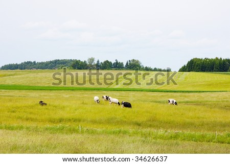keeping a herd of cows on the meadow - stock photo