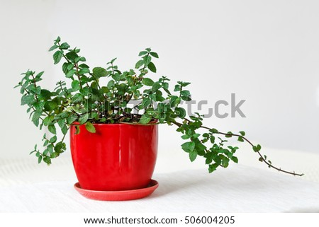 Keeping it fresh, mint in a red pot