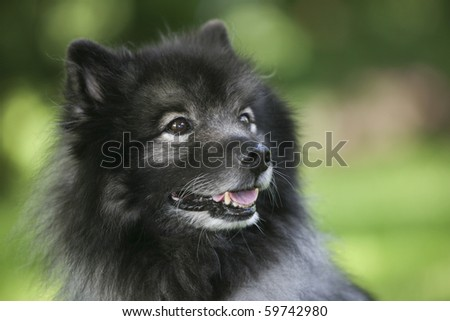 keeshond dog - stock photo