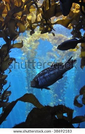 Kelp Forest - stock photo