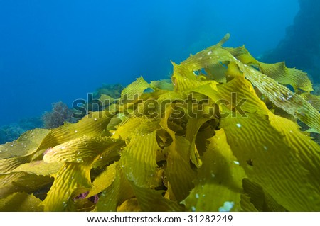 Kelp leaves lit brilliantly from the sun underwater, (Macrocystis pyrifera) - stock photo