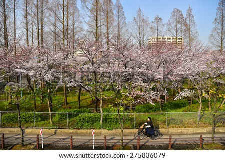 Kema Sakuranomiya Park Osaka , JAPAN - MARCH 30 : Cherry blossom flowers in garden with many people at Japan on March 30, 2015.Kema Sakuranomiya Park  was a famous place of sakura garden.