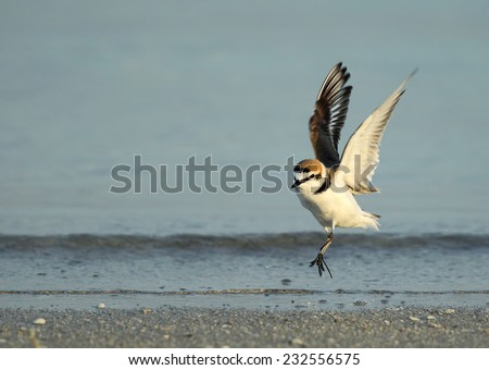 Kentish Plover - stock photo