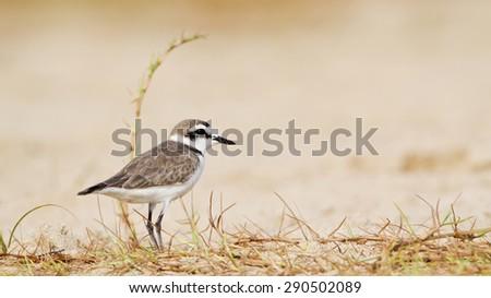 Kentish plover bird in Arugam bay lagoon of Pottuvil, Sri Lanka ; specie Charadrius alexandrinus   - stock photo