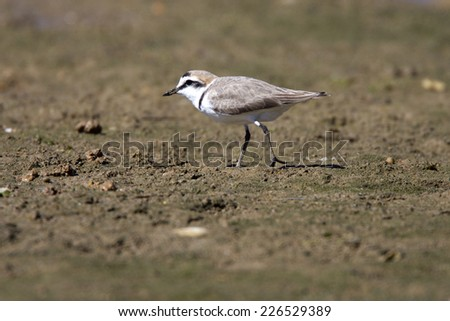 Kentish Plover walking over the mud flats at low tide, Ria Formosa Nature Park, Algarve, Portugal. - stock photo