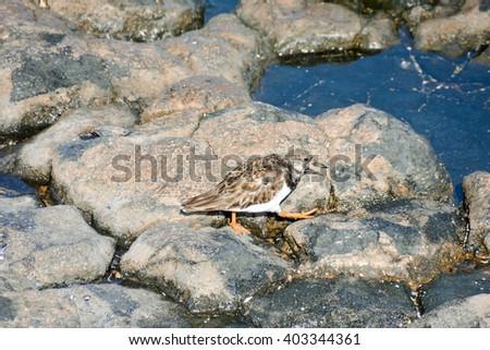 Kentish Plover Water Bird  - stock photo