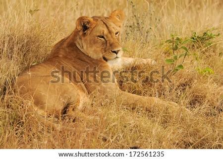 KENYA - AUGUST 9: An African Lion (Panthera leo) on the Masai Mara National Reserve safari in southwestern Kenya. - stock photo
